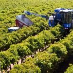FPT Industrial Helps Set Grape Harvesting Record